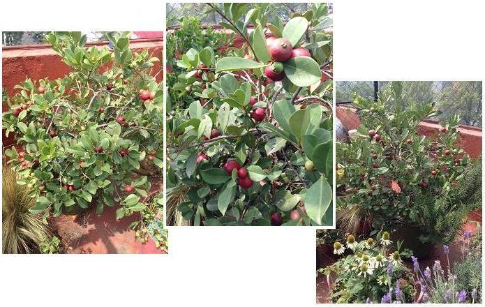 Guayabo Japonés creciendo en mi azotea en México DF (Agosto). Listo para la cosecha!