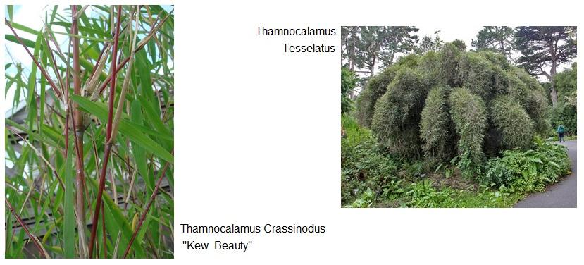 Thamnocalamus