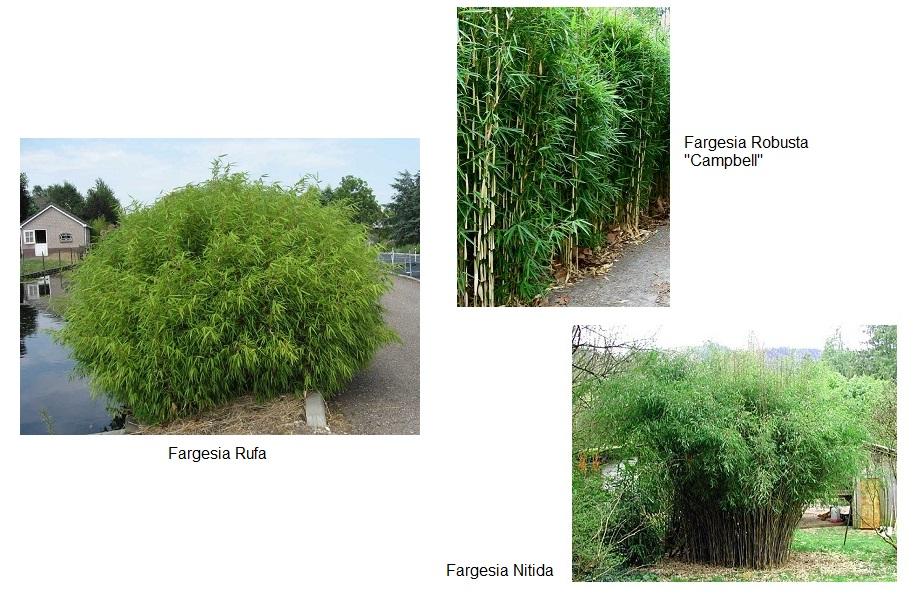 bamboo_fargesia_sp
